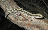 Diplodactylus ornatus