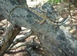 Lophagnathus temporalis