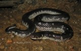 Snakes of Australia (Homalopsidae)