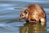 Australian Water Rat