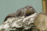 As Otter.jpg