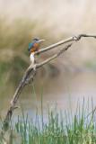 Kingfisher14.jpg