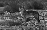 IMG_4762 - Gray Wolf