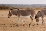 IMG_5940 - Somali wild ass