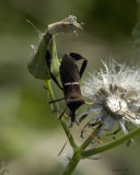 Florida Leaf-footed Bug 4-11-11