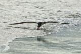 Black Skimmer 6-19-12
