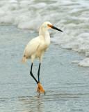 Snowy Egret 6-19-12