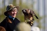 Swainson's Hawk at Sutters Landing Park