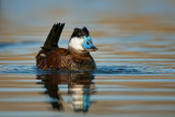 Ruddy Duck Bubbling