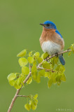 Eastern Bluebird on Aspen