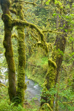 Oregon Moss