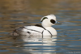 The drake Smew, with its 'cracked ice' appearance, is unmistakable.
