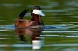 Ruddy Duck (drake) bubbling