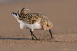 Semi palmated Sandpiper