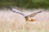 Redtailed Hawk flys low over field