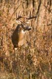 Buck in tall grass