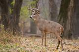 Big Woods Buck