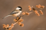 Black capped chickadee visiting
