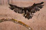 Golden Eagle wings wide