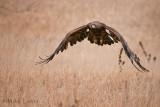 Golden Eagle in flight