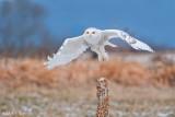 Snowy Owl Bursting off perch