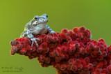 Tree frog on Sumac
