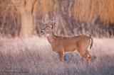 Buck in open field