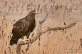 Golden Eagle perched
