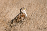 Ferruginous Hawk in grass