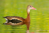 Black bellied whistling duck (Dendrocygna autumnalis)