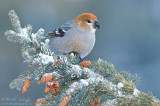 Pine Grosbeak (female )