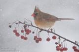 Snowberries   Northern Cardinal (female)