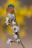 Bluebird flowery scene