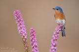Bluebird on Blazing star