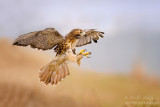 Redtailed Hawk talons up