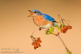 Bluebird swallows berry