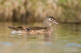 Wood Duck (Hen)