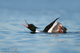 Red breasted merganser displaying