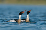 Red Breasted Merganser (pair displays)