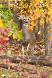 Deer in autumn scene