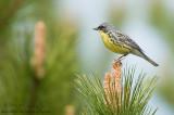 Kirtlands Warbler on Red Pine