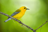 Prothonatary warbler posed