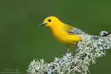 Prothonotary Warbler on lichen