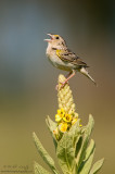 Grasshopper sparrow on flowering Common Mullein