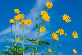 Coreopsis to the sky