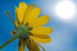 Coreopsis reaches for the sun