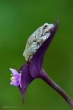 Green tree frog on purple flower