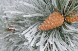 Hoar frost pine and cone