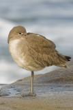 Willet (basic plumage)