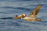 pelican broadside